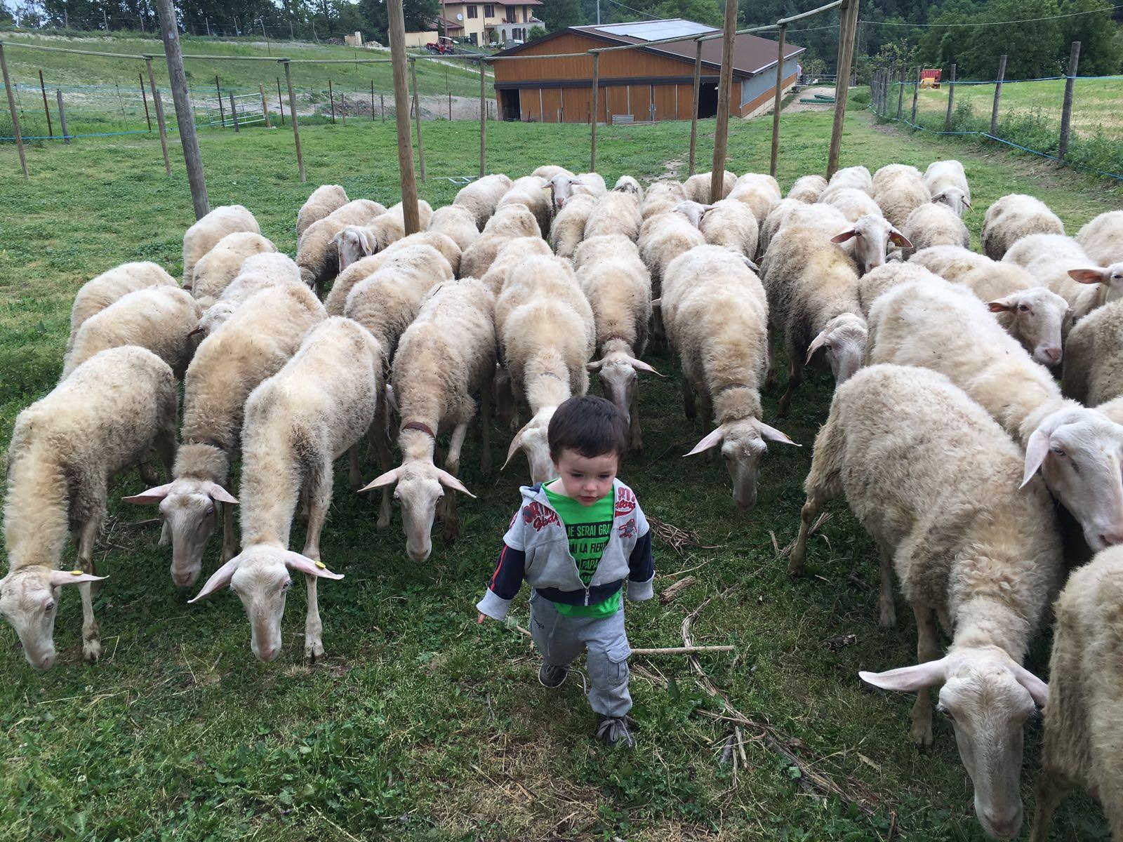 pastore pecore vesime